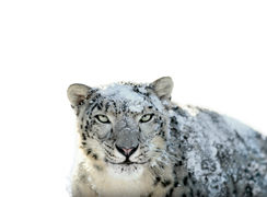 Snow Leopard Up-to-Date. New Mac buyers, find out how to get Snow Leopard