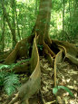 Buttress Roots, Daintree National Park, Australia