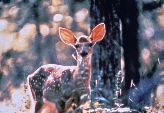 Lymes- Whitetail deer serves as host to ticks