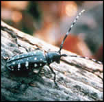Photo of Asian Longhorned Beetle