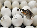 A crocodile hatching