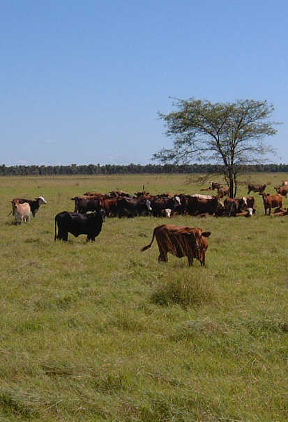 """""""cattle,Chaco"""""""