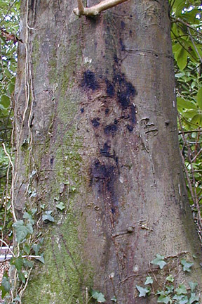A beech tree infected with Phytophthora kernoviae. Image: Forest Research