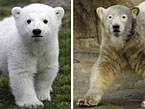 Knut as a cub and as an adolescent. (AAP)