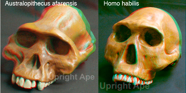Red-blue stereo photos of reconstructions of the skulls of human ancestors. Photos by AG Filler