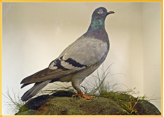 Pigeon named The King of Rome standing on a grassy mount