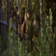 Bull Moose Walking in Forest - VideoHive Item for Sale
