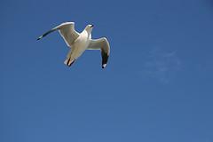 Slipstreaming Gull