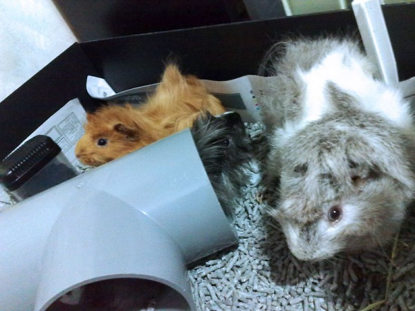My Three Guinea Pigs