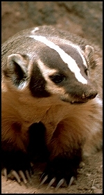 Image: American badger (Taxidea taxus).