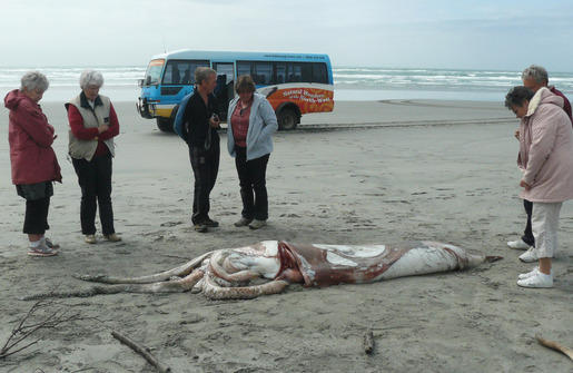 The five-metre-long giant squid found on Farewell Spit. Photo: Brent Hartshorne.