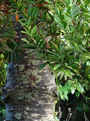 молодое дерево каури, photo by Tatiana Gerus