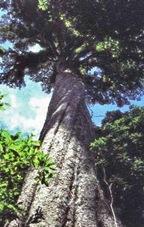 Ствол трехсотлетнего дерева