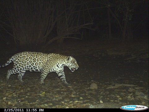 First-jaguar-camera-trap-photo