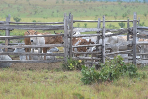 Keeping-cows-safe-from-jaguar-Karanambu
