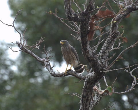 Roadside-hawk-near-gappo-Karanambu