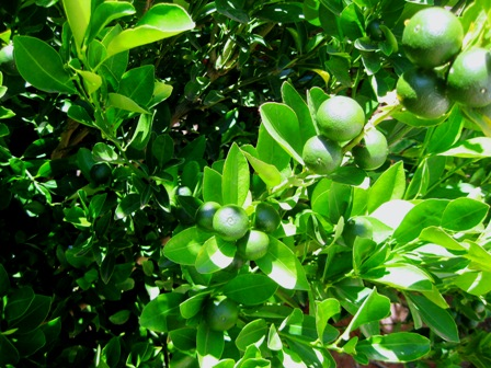 Kumquat's ripening in the summer sun: