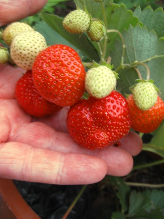 homegrown berries: