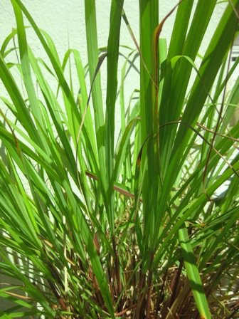 fragrant lemongrass: