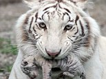 Talk about Tiger Mom! Tigryulia holds her newborn cub at the Skazka Zoo in Yalta, Ukraine