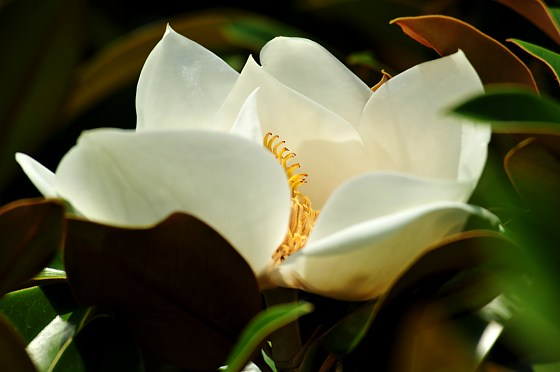 Magnolia Grandiflora  Yalta, Crimea Ukraine photo