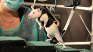 Paralyzed rats run again: Could method help humans?