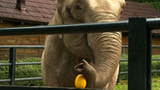 Citta the oracle elephant