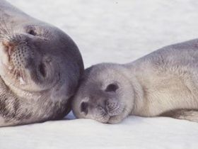 Weddell seal and pup on the sea ice
