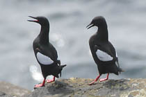 New Guillemots -