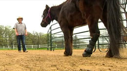 Mini Horse With Prosthetic Leg Stands His Ground