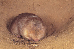 Juliana's Golden Mole