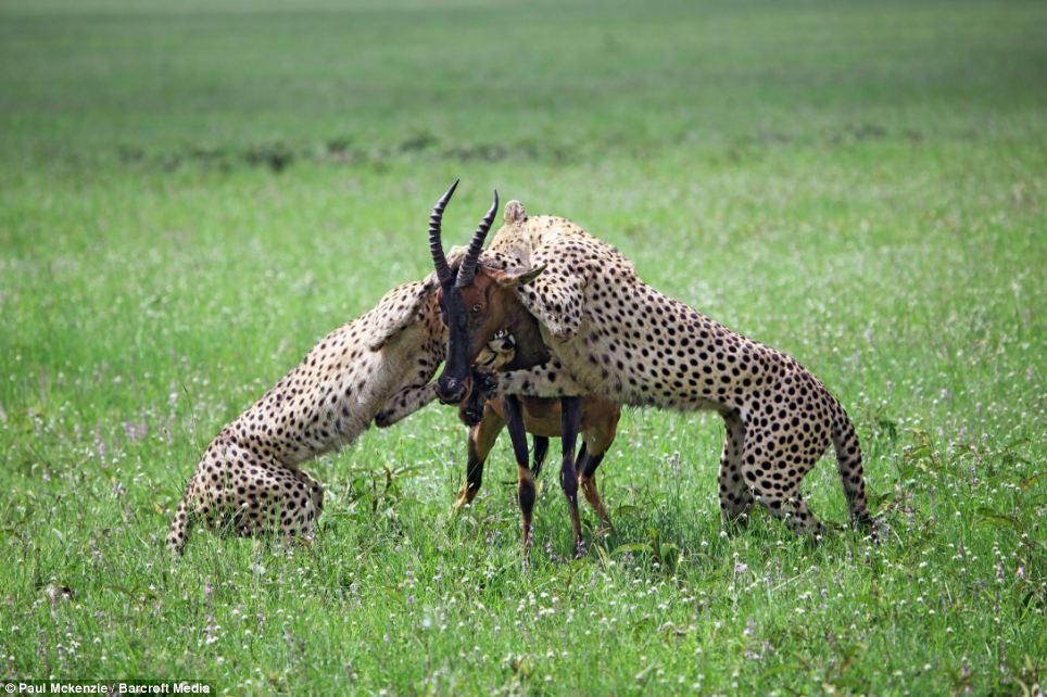 Feeding time: Two male Cheetahs gang up to attack their prey, an adult Topi during feeding time in the Masai Mara