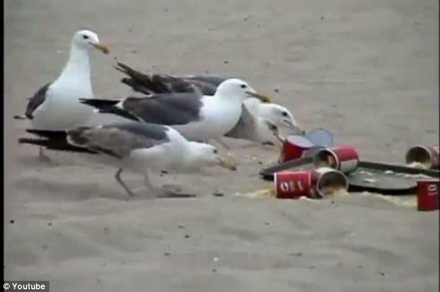 Stage two of the prank begins ass the hungry seagulls tuck in