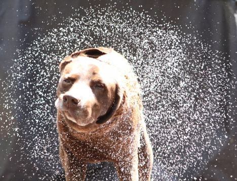 Matter of life and death: Dogs have evolved to shake at the perfect frequency to make themselves 70 per cent dry without expending too much energy