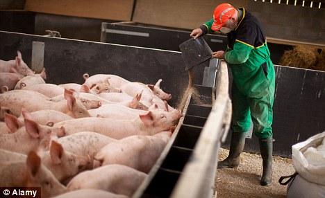 A Farmer feeding some pigs
