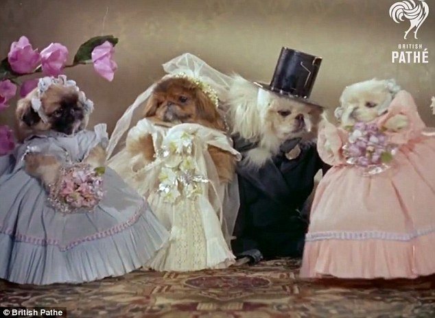 One for the album: Bizarre footage of a pair of Pekingese pups tying the knot has been unearthed from the archives of newsreel company British Pathe