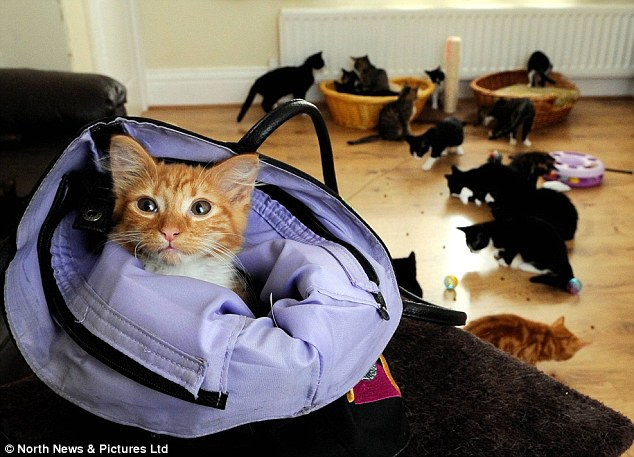 Overrun: Ms O'Brien said the number of cats in her care had risen so quickly that her friends had offered to foster some until new homes can be found