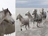 Wild Camargue horses