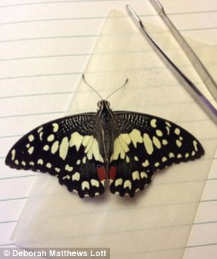 This specimen of the lime swallowtail, an invasive species that is a threat to citrus plants, was collected at the Guantanamo Bay Naval Station in January 2012