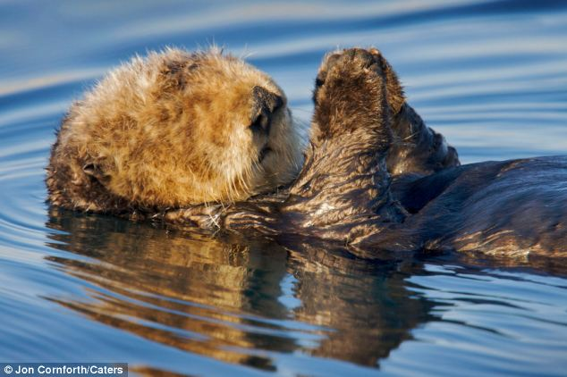 Drifting off again: The furry creature appeared to have its paws together in prayer as it relaxed back into the water
