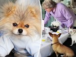One pampered pooch! Lisa Vanderpump's pet Giggy enjoys a dog's dinner with his pals... and Ken Todd is left pouring the tea