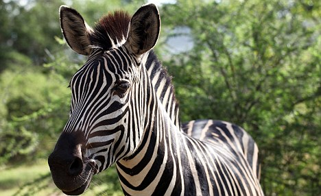 Scientists said that until now, there had been no obvious biological explanation for cheetah spots or the stripes on tigers, zebras or even the ordinary house cat