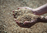 Russia to Intervene on Grain Market