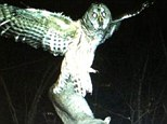 Big appetite: Swooping in, an owl is caught wide-eyed clutching a domestic cat in its talons as seen in this photo taken in Minnesota