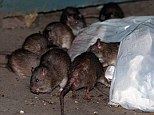 The rising water in New York will force rats out of their underground lairs and into contact with humans, according to an ecosystem expert.