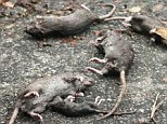 Casualties: A family of rats drowned on the FDR Drive as they were trying to escape the flood waters