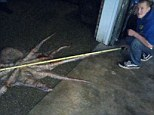 Dylan Mayer measures out the dead octopus on the floor of his garage in Seattle