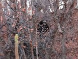 Is this dark character lurking in the woods Bigfoot or just the latest in a long line of hoaxes and false sightings?