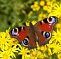 We should be worrying about declining numbers of butterflies, says Ray