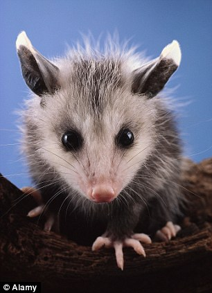 Animal rights: The judge said Logan had a right to kill the marsupial, but not to hold it captive for weeks and than put it on display before thousands of people